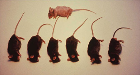 ACF 228 Strong radical-scavenger fed mice versus surviving control mouse