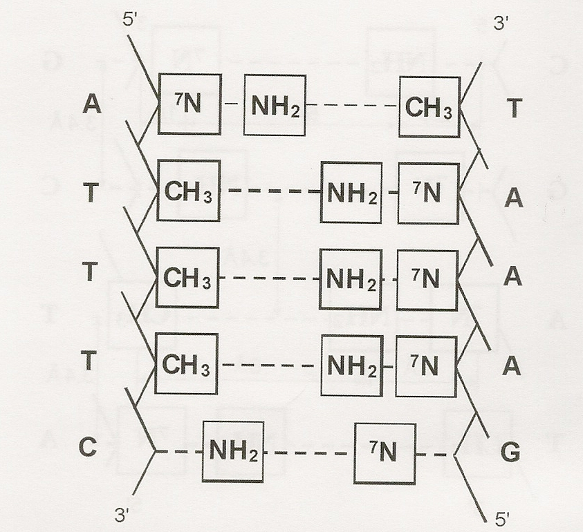 Figure One: (Left) a sequence of nucleotide pairs in the DNA double helix.