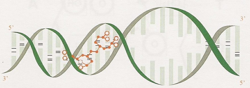 Figure Three: The same reaction shown from a different viewpoint- the interlocking/ stimulation of the peptide bioregulator onto a DNA groove.