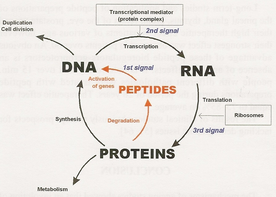 Figure Four: The role of peptides in the cycle of DNA, RNA and protein biosynthesis.