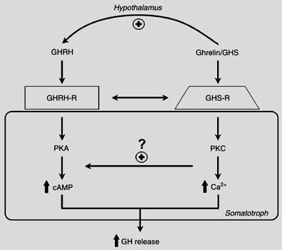 Separate somatotroph receptors for GHRH/sermorelin and ghrelin/GHRP underlie their synergy.