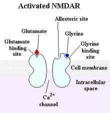 The NMDA receptor: a type of glutamate receptor that participates in excitatory neurotransmission has some influence over GHRH and SRIF.