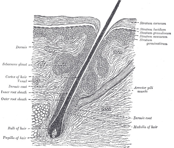 hair folicle