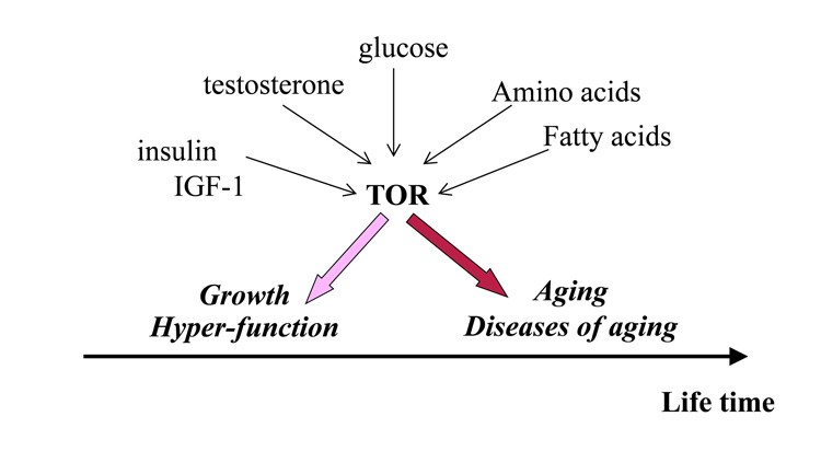 The relationship between testosterone, other compounds and mTOR with regards to aging vs healthy growth.