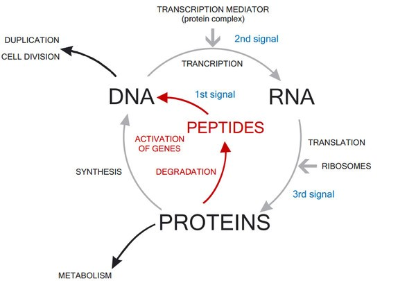 The role of peptides in the metabolism: